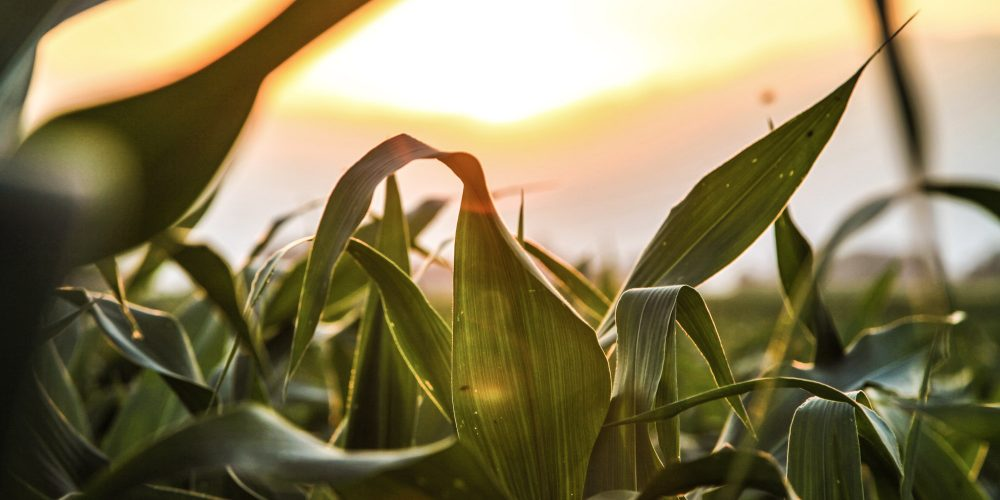 agriculture-cereals-corn-Sofbey